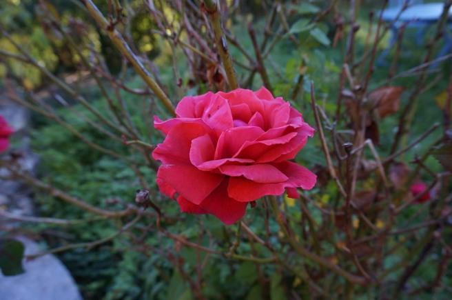 marlen-sauvage-rose