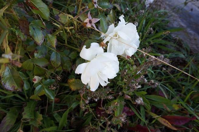 marlen-sauvage-roseblan