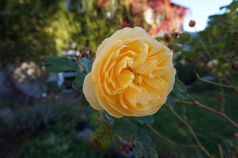 marlen-sauvage-rosejaune