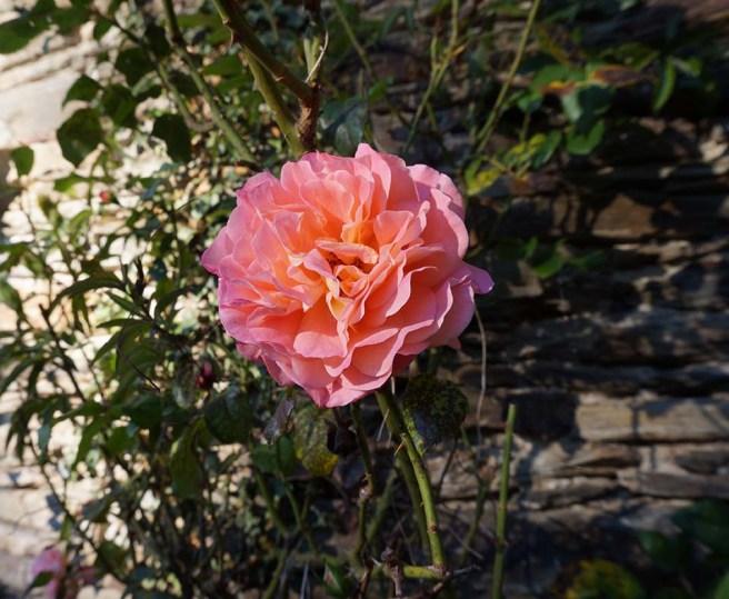 marlen-sauvage-roserose