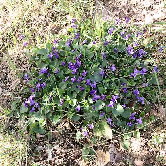 marlen-sauvage-violettemars