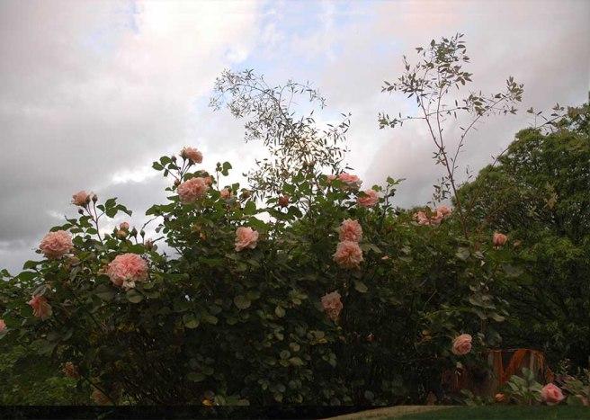 marlen-sauvage-vieux-rosier