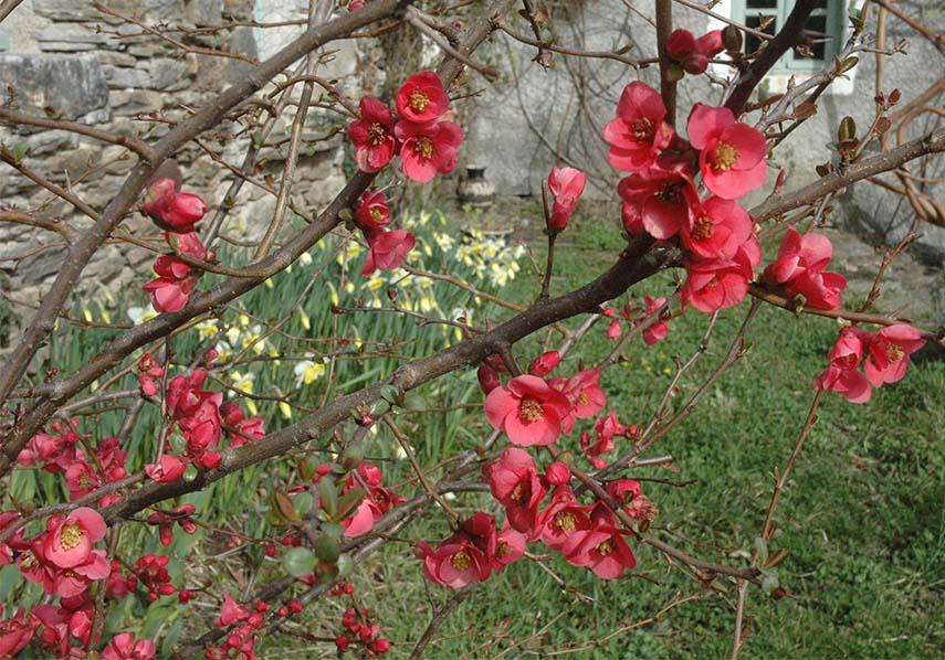 marlen-sauvage-cerisierJapon
