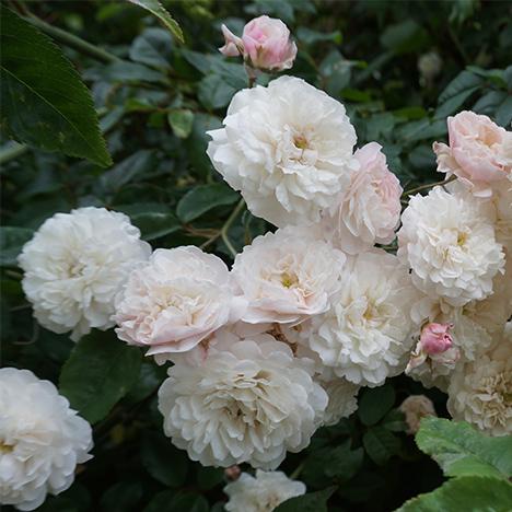 marlen-sauvage-rose-blanche