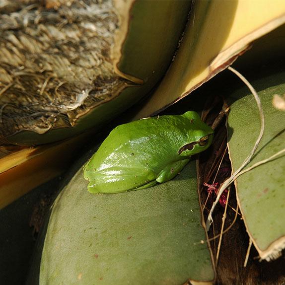 marlen-sauvage-grenouille