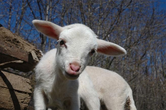 marlen-sauvage-agneau