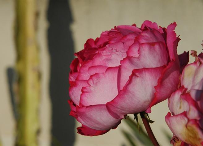 marlen-sauvage-roseBandol
